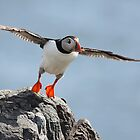 Puffin by Tina Dial