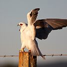 Black Shouldered Kite by Tina Dial