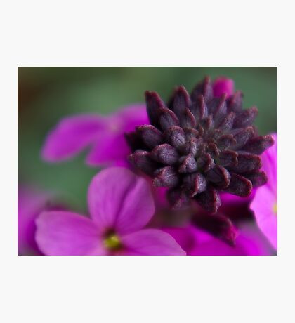 Wall Flower Seeds. Photographic Print