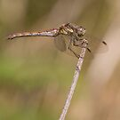 Common female darter by Carole Stevens