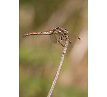 Common female darter Photographic Print