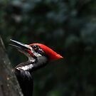 Pileated woodpecker by kathy s gillentine