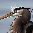 Great Blue by kathy s gillentine
