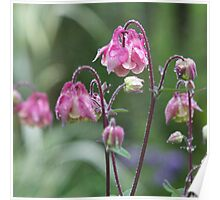 Pink aquilegia after the rain. Poster
