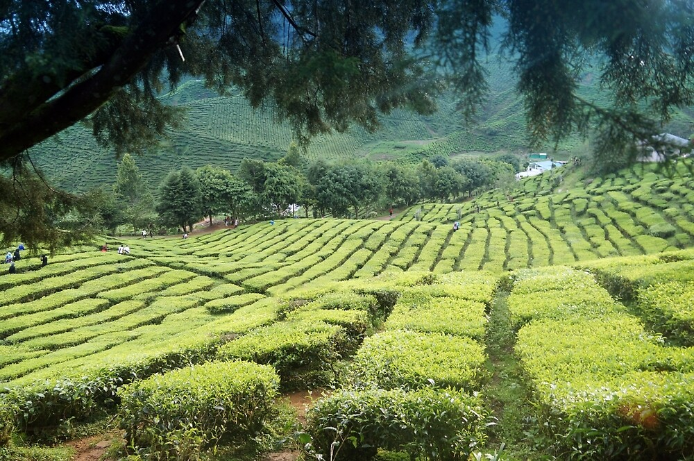 Exotic Asian Tea Plantation by hazelong