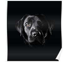 Black Lab Face  Poster