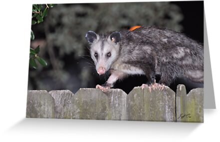 Opossum by Jeff Ore