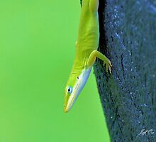 Green Anole by Jeff Ore