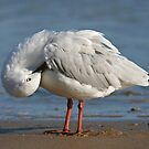 Silver Gull by Tina Dial