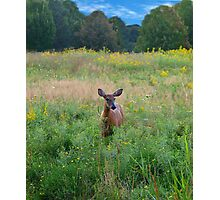 Deer in the Meadow Photographic Print