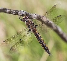 Common Baskettail by Mark Rosenstein
