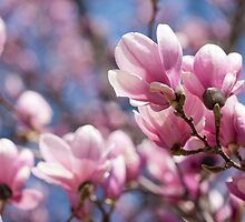 Blooming Magnolia by Ilze Lucero