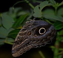 Dark Butterfly by jfunk