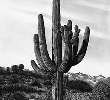Giant Saguaro Cactus, Tucson, Az. by J.D. Bowman
