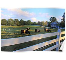 Cows Grazing In Grass Poster