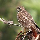 Red-shouldered Hawk  by kathy s gillentine