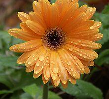 Gerber Daisy 12-25-2007 by Bob Hardy