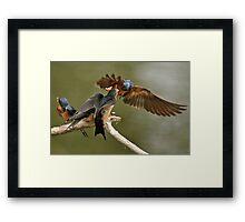 Feeding Swallows Framed Print