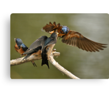 Feeding Swallows Canvas Print