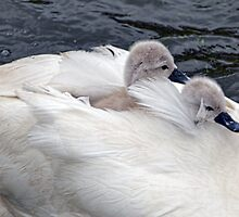 Hitching a ride with Mum............ by lynn carter
