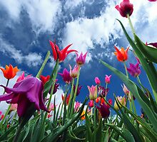 Multi color Tulips by Dipali S