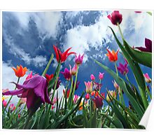 Multi color Tulips Poster