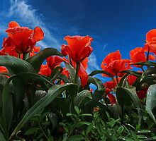 Red Tulips by Dipali S
