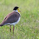 Masked Lapwing by Tina Dial