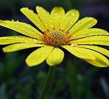 Raindrops on Daisy by Judy Vincent
