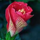 New Hibiscus by BrianDawson