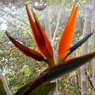 Bird of Paradise flower by hilarydougill