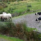 Sheep and cattle dogs by Arie Koene
