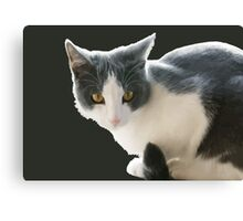 A Max And Mantle Bi Colour Cat Isolated Canvas Print