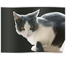 A Max And Mantle Bi Colour Cat Isolated Poster