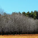 Trees of Row in Sunlight by Nazareth