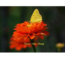 Cloudless Sulphur Butterfly on a Red Zinnia Photographic Print