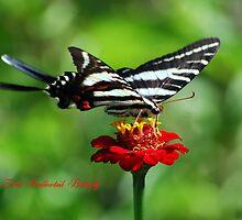 Zebra Swallowtail on a Red Zinnia by Catherine Sherman