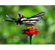 Zebra Swallowtail on a Red Zinnia Photographic Print