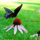 Black Swallowtail Butterfly on a Purple Coneflower by Catherine Sherman