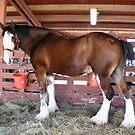 White Socks Draft Horse by NancyC