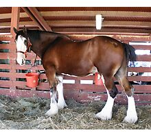 White Socks Draft Horse Photographic Print