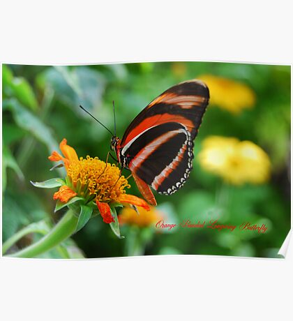 Orange Banded Longwing Butterfly Poster