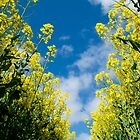 The Rape Seed Fields by Shaun Colin Bell