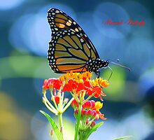 Monarch Butterfly on Scarlet Milkweed (with title) by Catherine Sherman