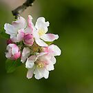Crab Apple Blossom by Neil Bygrave (NATURELENS)