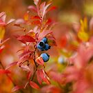 Autumn Blueberries by Colin Tobin