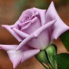 The 'BLUE MOON' a rose with exceptional beauty and elegance ! by Magaret Meintjes