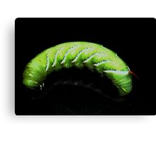 Tomato Hornworm on Black Canvas Print