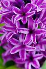 Magenta Hyacinth by Renee Hubbard Fine Art Photography