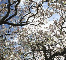 Sun breaking through a flowering magnolia tree by miradorpictures